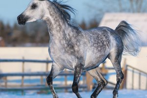 Galloping Arabian horse