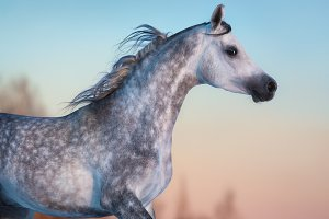 Gray Arabian horse