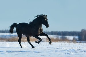Black horse running fast gallops