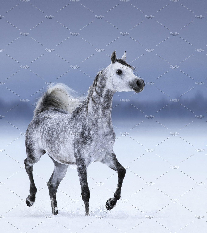 Dapple-grey arabian horse