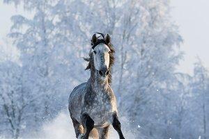 Grey purebred Spanish horse