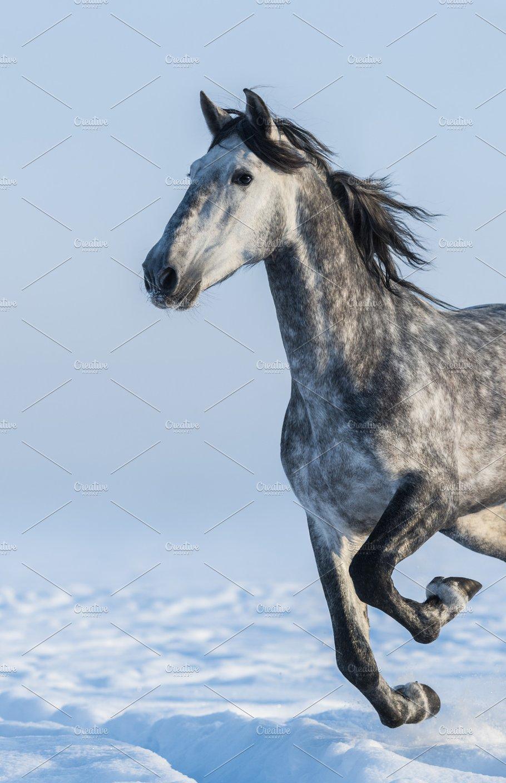 dapple grey spanish horse animal photos creative market