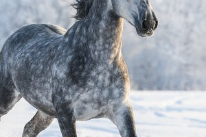 Dapple-grey Spanish horse