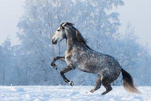 Prancing Spanish horse