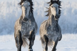 Two gray horses