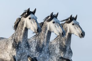 Three grey Andalusian stallions