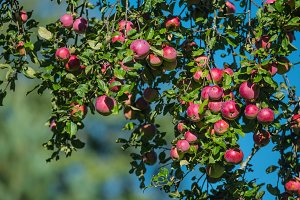 Many red apples on branch