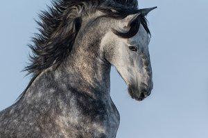 Dapple-grey Andalusian stallion