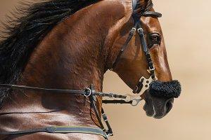 Portrait of a sports stallion