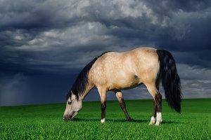 Cream-colored arabian pony