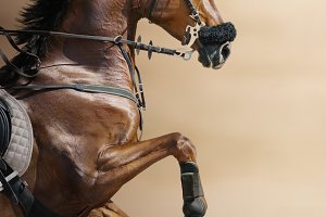 Jumping horse in a hackamore