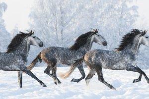 Horse herd run gallop