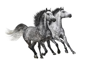 Two grey horse. Isolated on white
