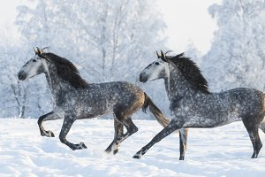 Two grey stallions