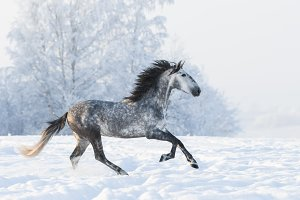 Dapple-grey Andalusian stallion