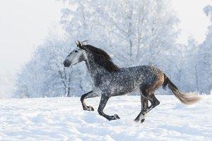 Galloping grey horse