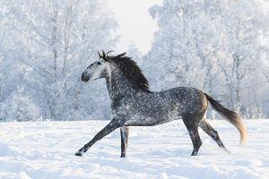 Galloping grey horse on snowfield