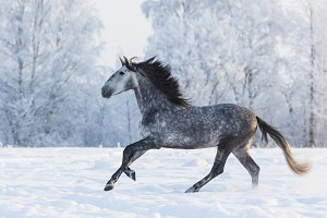 Galloping grey horse