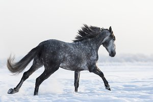 Galloping grey Spanish horse