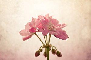 Geranium or pelargonium flowers