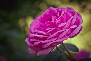 Pink flower of rose in summer garden