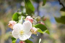 Apple blooming tree