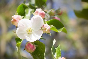 Apple blooming tree
