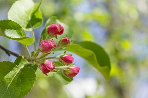 Apple buds blooming branch tree