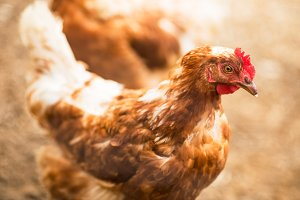 Farm hens portrait