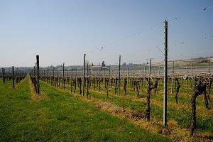Vineyards in Italy