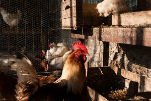 Rooster with chickens in hen-house