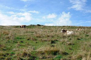 Cows in the hills , grazing grass