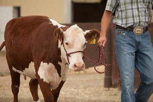 Fair Livestock Show:Cattle Cow