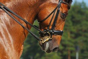 Dressage: portrait of horse