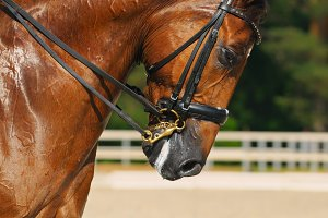 Dressage: portrait of horse