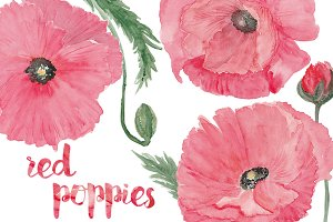 Watercolor red poppies. PNG