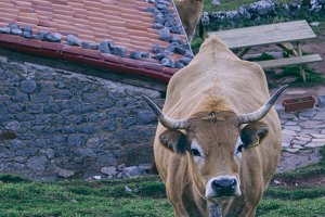 Cow in a village