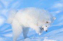 White puppy. Samoyed dog.