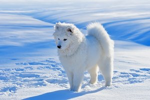 White puppy. Samoyed dog.