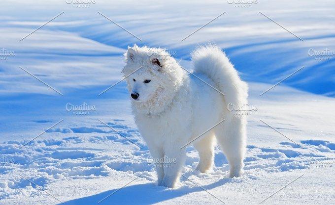 White puppy. Samoyed dog.  - Animals