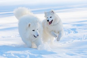 Two Samoyed dogs play
