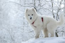 White puppy. Samoyed dogs