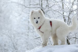 White puppy. Samoyed dogs