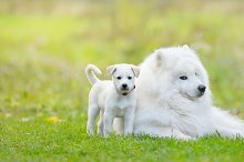 Samoyed dog and white puppy