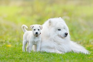 Samoyed dog and white puppy