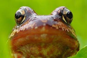 Head of frog