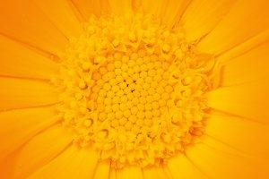 Yellow calendula-flower