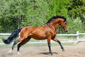 Bay horse of Ukrainian riding breed