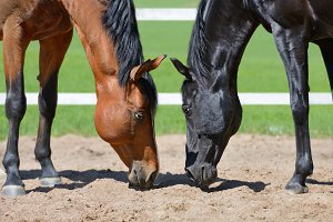 Two stallions smell sand