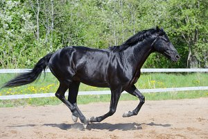 Black horse of Russian riding breed